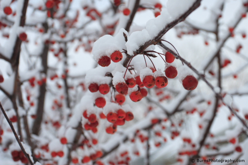 Crabapples in Snow