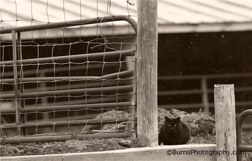 Picture of Farm Cat