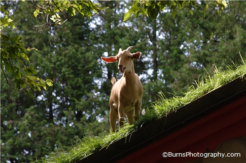 Goat on Grass Roof