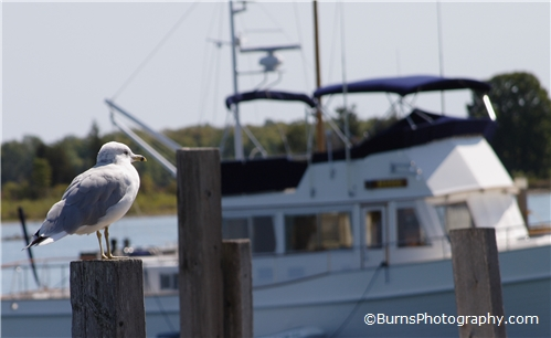 Picture of Seagull and Boat