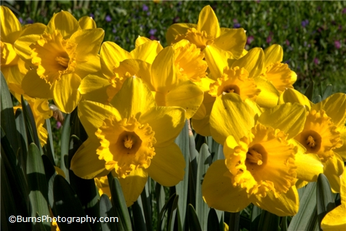 Picture of Spring Daffodils