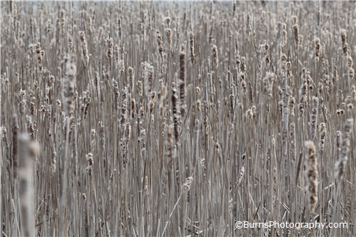Dried Cattails Patterns