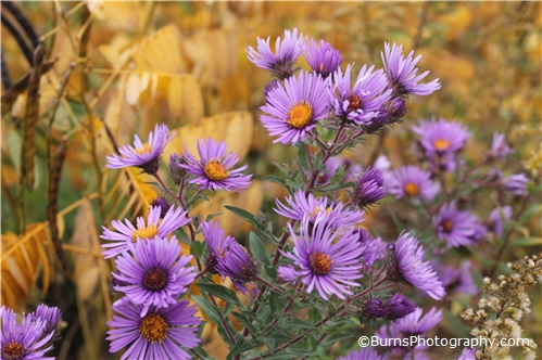Picture of Purple Flowers in Autumn