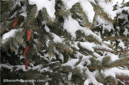 Pine Cones on Evergreen Tree