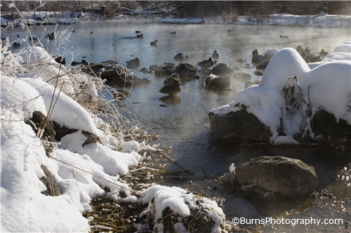 Picture of Ducks in Winter