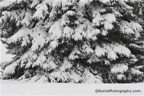 Picture of Snow Covered Evergreen Tree