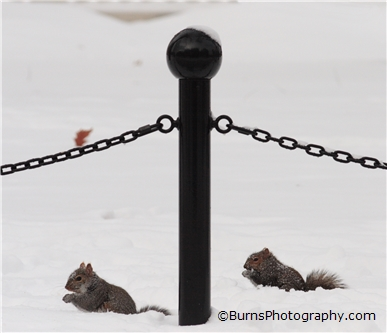 Picture of Squirrels In Snow